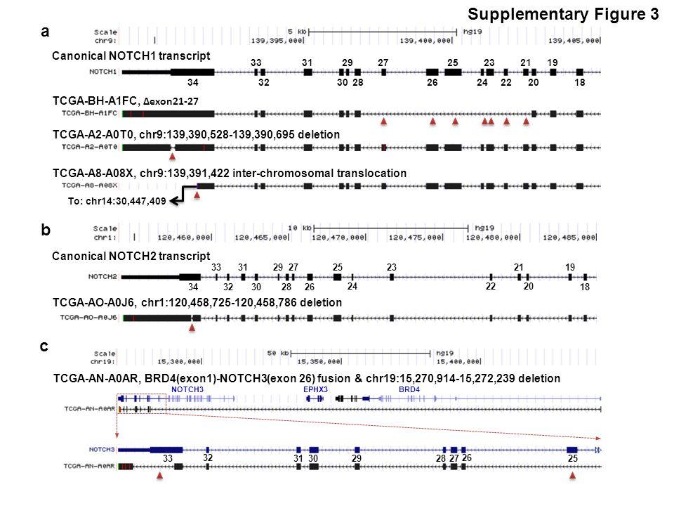 Supplementary Figure 3 TCGA-BH-A1FC, ∆exon21-27 Canonical NOTCH1 transcript 34 33 32 31292725232119 302826 242220 18 TCGA-A2-A0T0, chr9:139,390,528-139,390,695 deletion TCGA-A8-A08X, chr9:139,391,422 inter-chromosomal translocation Canonical NOTCH2 transcript TCGA-AO-A0J6, chr1:120,458,725-120,458,786 deletion a b 34 33 32 31292725232119 302826 242220 18 To: chr14:30,447,409 c TCGA-AN-A0AR, BRD4(exon1)-NOTCH3(exon 26) fusion & chr19:15,270,914-15,272,239 deletion 33 32 31 29 27 30 28 26 25 NOTCH3BRD4EPHX3