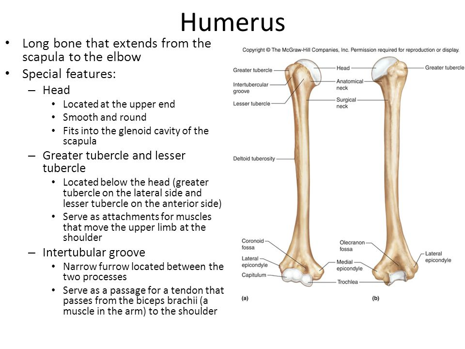 Humerus Special Features (cont) – Anatomical neck Narrow depression along the lower margin of the head that separates it from the tubercules – Surgical neck Tapering region just below the head and the tubercules – Deltoid tuberosity Rough V-shaped area near the middle of the bony shaft on the lateral side Provides an attachment for the deltoid muscle that raises the upper limb horizontally to the side