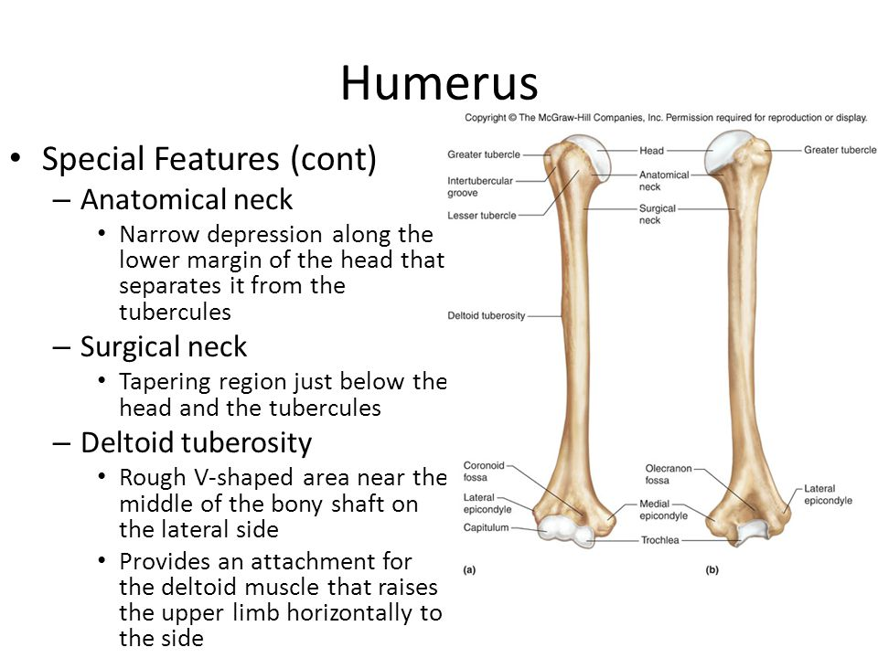 Humerus Special features (cont) – Capitulum Knob-like condyle on the lateral side of the lower end of the humerus Articulates with the radius at the elbow – Trochlea Pulley-shaped condyle on the medial side of the lower end of the humerus Articulates with the ulna at the elbow – Epicondyles Located above the condyles on either side Provide attachments for muscles and ligaments of the elbow – Coronoid fossa Depression located between the epicondyles anteriorly Receives the coronoid process of the ulna when the elbow bends – Olecranon foassa Depression located between the epicondyles posteriotly Receives the olecranon process when the elbow straightens