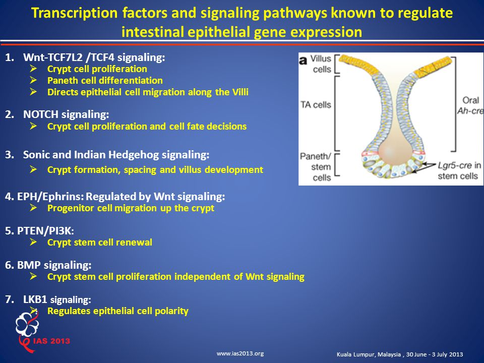 www.ias2013.org Kuala Lumpur, Malaysia, 30 June - 3 July 2013 Transcription factors and signaling pathways known to regulate intestinal epithelial gene expression 1.Wnt-TCF7L2 /TCF4 signaling:  Crypt cell proliferation  Paneth cell differentiation  Directs epithelial cell migration along the Villi 2.NOTCH signaling:  Crypt cell proliferation and cell fate decisions 3.Sonic and Indian Hedgehog signaling:  Crypt formation, spacing and villus development 4.