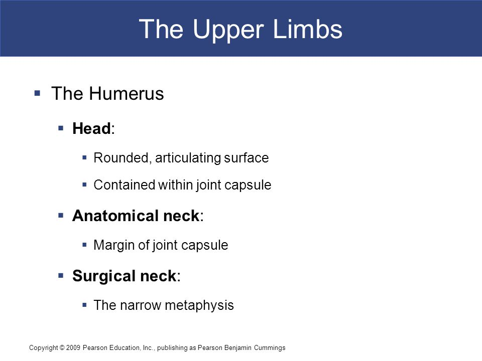 Copyright © 2009 Pearson Education, Inc., publishing as Pearson Benjamin Cummings The Upper Limbs  The Humerus  Head:  Rounded, articulating surface  Contained within joint capsule  Anatomical neck:  Margin of joint capsule  Surgical neck:  The narrow metaphysis