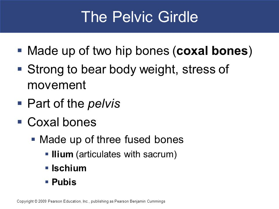 Copyright © 2009 Pearson Education, Inc., publishing as Pearson Benjamin Cummings The Pelvic Girdle  Made up of two hip bones (coxal bones)  Strong to bear body weight, stress of movement  Part of the pelvis  Coxal bones  Made up of three fused bones  Ilium (articulates with sacrum)  Ischium  Pubis