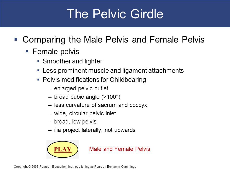 Copyright © 2009 Pearson Education, Inc., publishing as Pearson Benjamin Cummings The Pelvic Girdle  Comparing the Male Pelvis and Female Pelvis  Female pelvis  Smoother and lighter  Less prominent muscle and ligament attachments  Pelvis modifications for Childbearing –enlarged pelvic outlet –broad pubic angle (>100°) –less curvature of sacrum and coccyx –wide, circular pelvic inlet –broad, low pelvis –ilia project laterally, not upwards Male and Female Pelvis