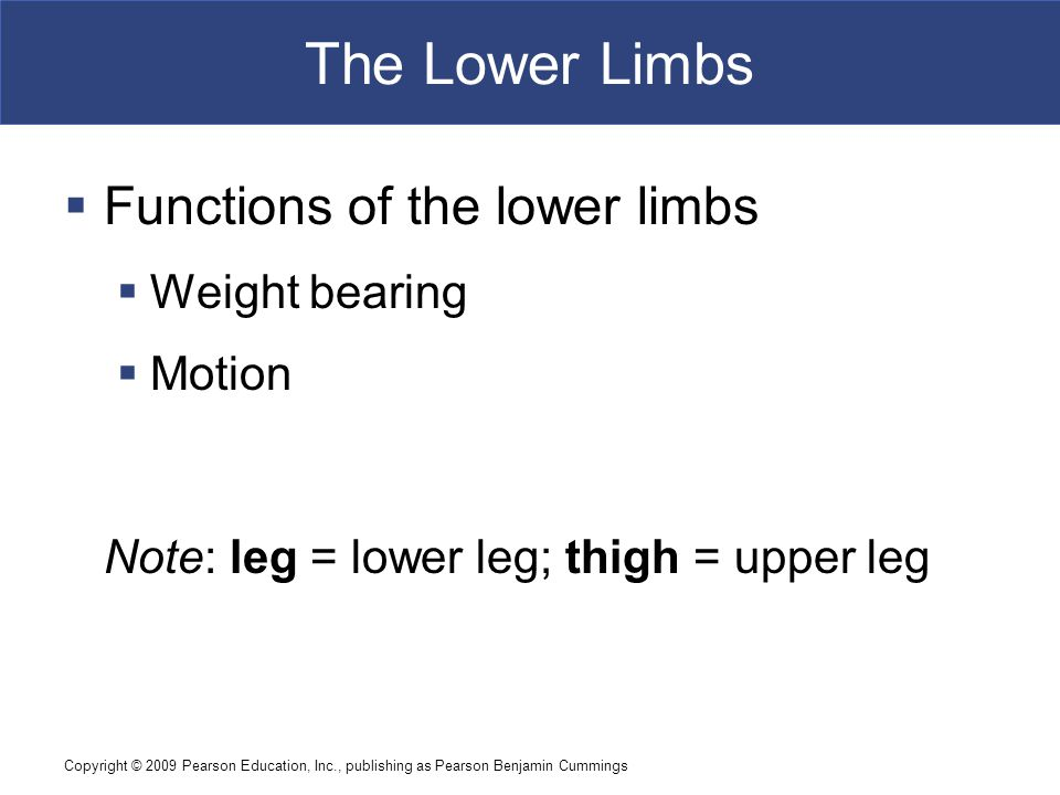 Copyright © 2009 Pearson Education, Inc., publishing as Pearson Benjamin Cummings The Lower Limbs  Functions of the lower limbs  Weight bearing  Motion Note: leg = lower leg; thigh = upper leg