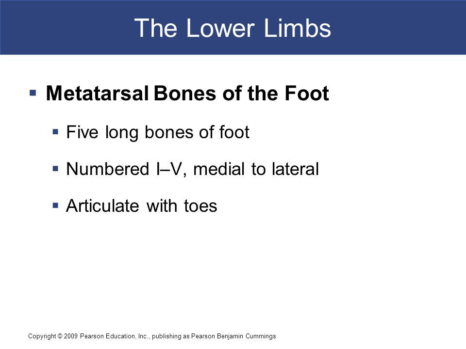 Copyright © 2009 Pearson Education, Inc., publishing as Pearson Benjamin Cummings The Lower Limbs  Metatarsal Bones of the Foot  Five long bones of foot  Numbered I–V, medial to lateral  Articulate with toes