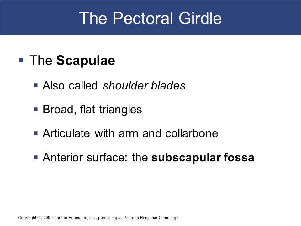 Copyright © 2009 Pearson Education, Inc., publishing as Pearson Benjamin Cummings The Pectoral Girdle  The Scapulae  Also called shoulder blades  Broad, flat triangles  Articulate with arm and collarbone  Anterior surface: the subscapular fossa