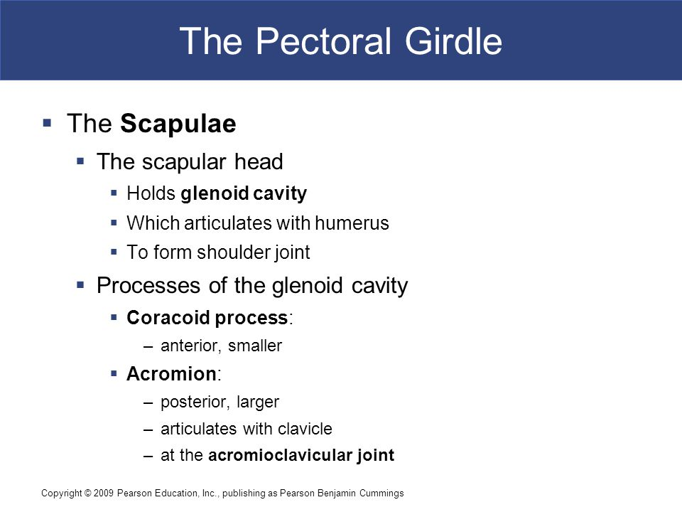 Copyright © 2009 Pearson Education, Inc., publishing as Pearson Benjamin Cummings The Pectoral Girdle  The Scapulae  The scapular head  Holds glenoid cavity  Which articulates with humerus  To form shoulder joint  Processes of the glenoid cavity  Coracoid process: –anterior, smaller  Acromion: –posterior, larger –articulates with clavicle –at the acromioclavicular joint
