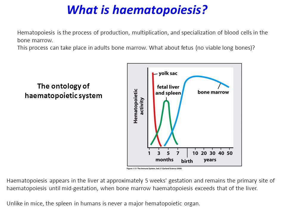 Maintenance of the haematopoietic system The haematopoietic cells (WBC and RBC) need constant renewal — the production of millions of new blood cells each day.