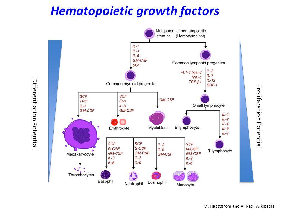 Haematopoiesis: Myeloid differentiation Oncogene (2002) 21, 3295 ± 3313 Gata1+ MPPs are functional CMPs (myelo-erythroid) PU.1+ MMPs are functional GMLPs (myelo-lymphoid) PU.1 suppresses Gata1 expression