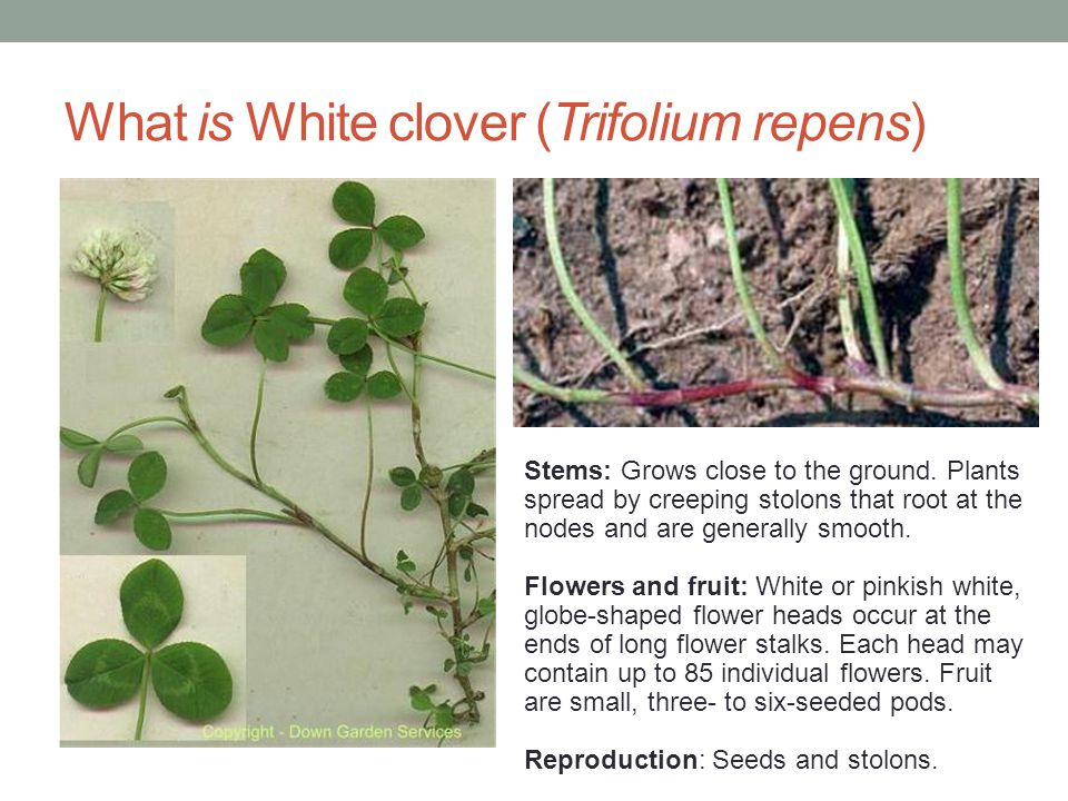 What is White clover (Trifolium repens) Stems: Grows close to the ground. Plants spread by creeping stolons that root at the nodes and are generally s