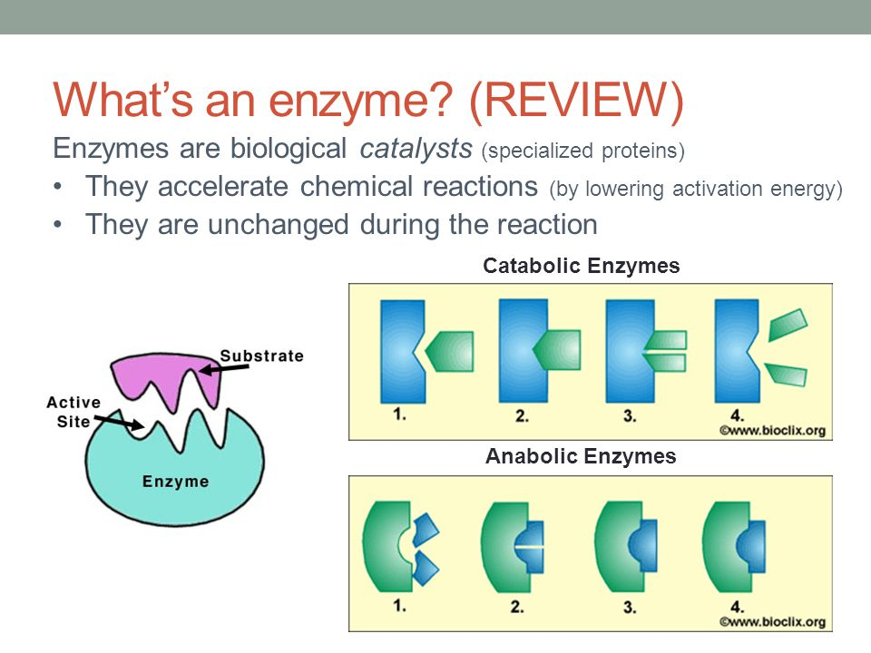 What's an enzyme? (REVIEW) Enzymes are biological catalysts (specialized proteins) They accelerate chemical reactions (by lowering activation energy)