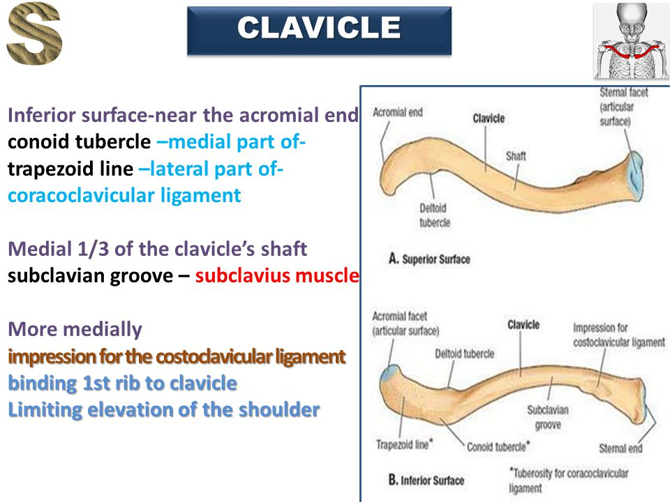 14 CLAVICLECLAVICLE Inferior surface-near the acromial end conoid tubercle –medial part of- trapezoid line –lateral part of- coracoclavicular ligament