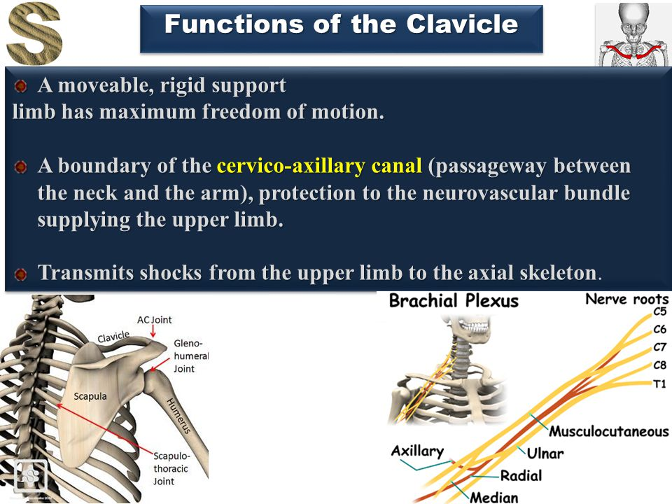 15 Functions of the Clavicle A moveable, rigid support limb has maximum freedom of motion. A boundary of the cervico-axillary canal (passageway betwee