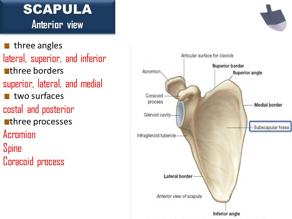 17SCAPULA Anterior view SCAPULA three angles lateral, superior, and inferior three borders superior, lateral, and medial two surfaces costal and poste