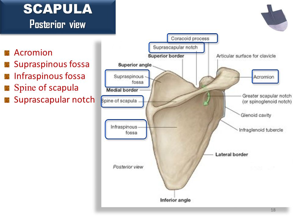 18 SCAPULA Posterior view SCAPULA Acromion Supraspinous fossa Infraspinous fossa Spine of scapula Suprascapular notch