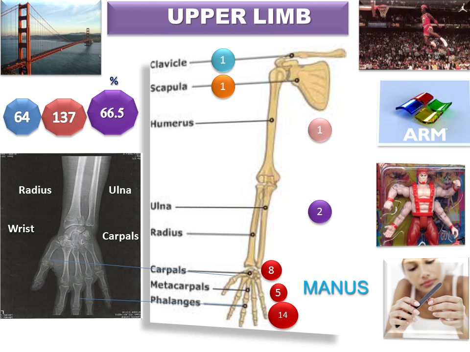 Efficiency of hand function ability to place it in the proper position by movements at the upper limb joints 3 UPPER LIMB