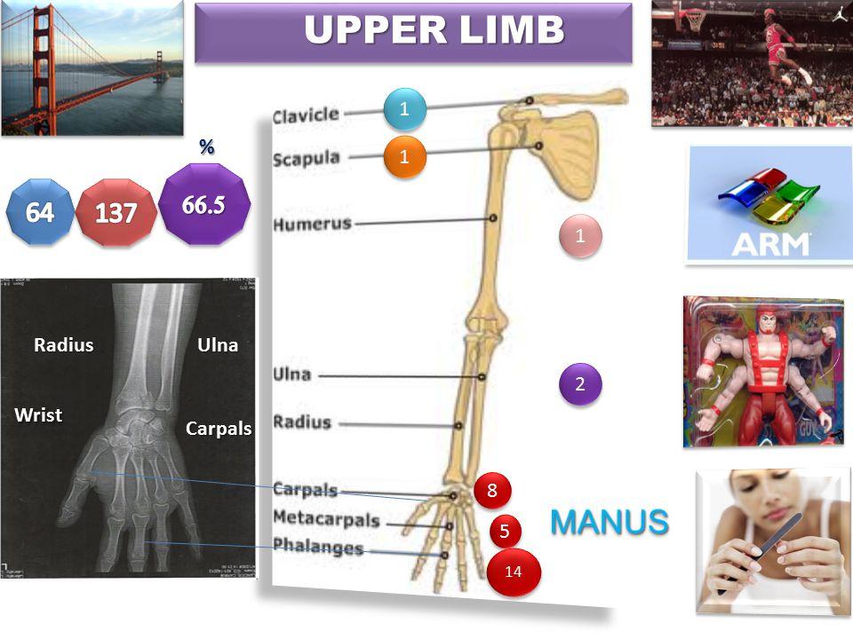 2 UPPER LIMB RadiusUlna WristWrist Carpals % 1 1 1 1 2 2 1 1 8 8 5 5 14