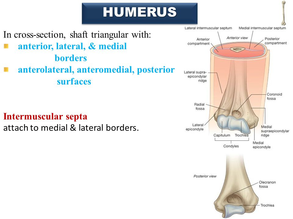 22 HUMERUSHUMERUS In cross-section, shaft triangular with: anterior, lateral, & medial borders anterolateral, anteromedial, posterior surfaces Intermu