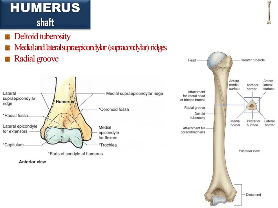 24 HUMERUSshaftHUMERUSshaft Deltoid tuberosity Medial and lateral supraepicondylar (supracondylar) ridges Radial groove
