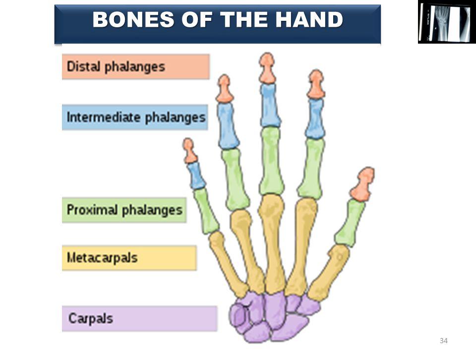 34 BONES OF THE HAND