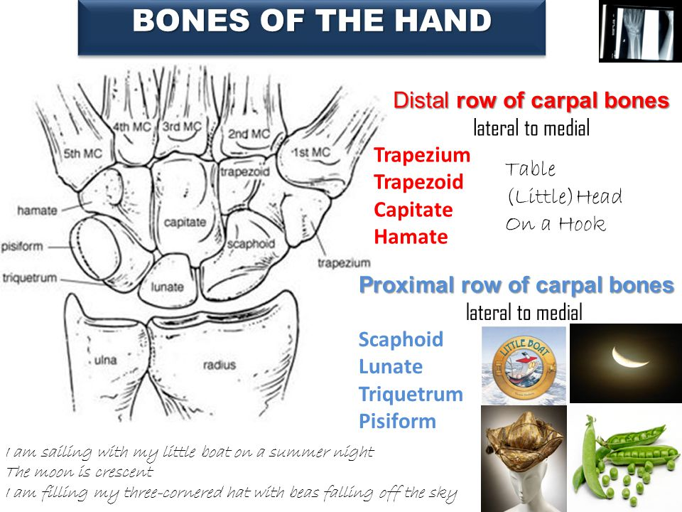 Proximal row of carpal bones lateral to medial Scaphoid Lunate Triquetrum Pisiform Distal row of carpal bones lateral to medial Trapezium Trapezoid Ca