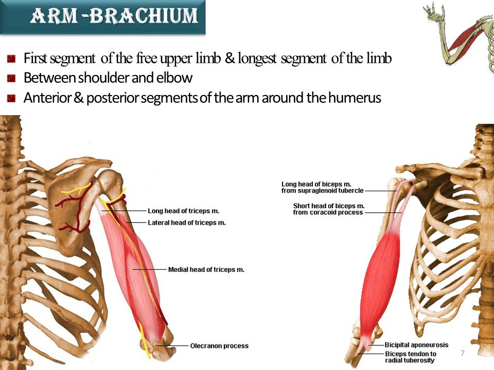 7 ARM -BRACHIUM F irst segment of the free upper limb & longest segment of the limb Between shoulder and elbow Anterior & posterior segments of the ar