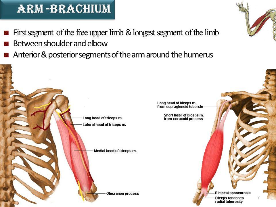 8 S econd longest segment of the limb B etween elbow wrist & I ncludes anterior & posterior regions overlying the radius and ulna Forearm-AntebrachIumForearm-AntebrachIum