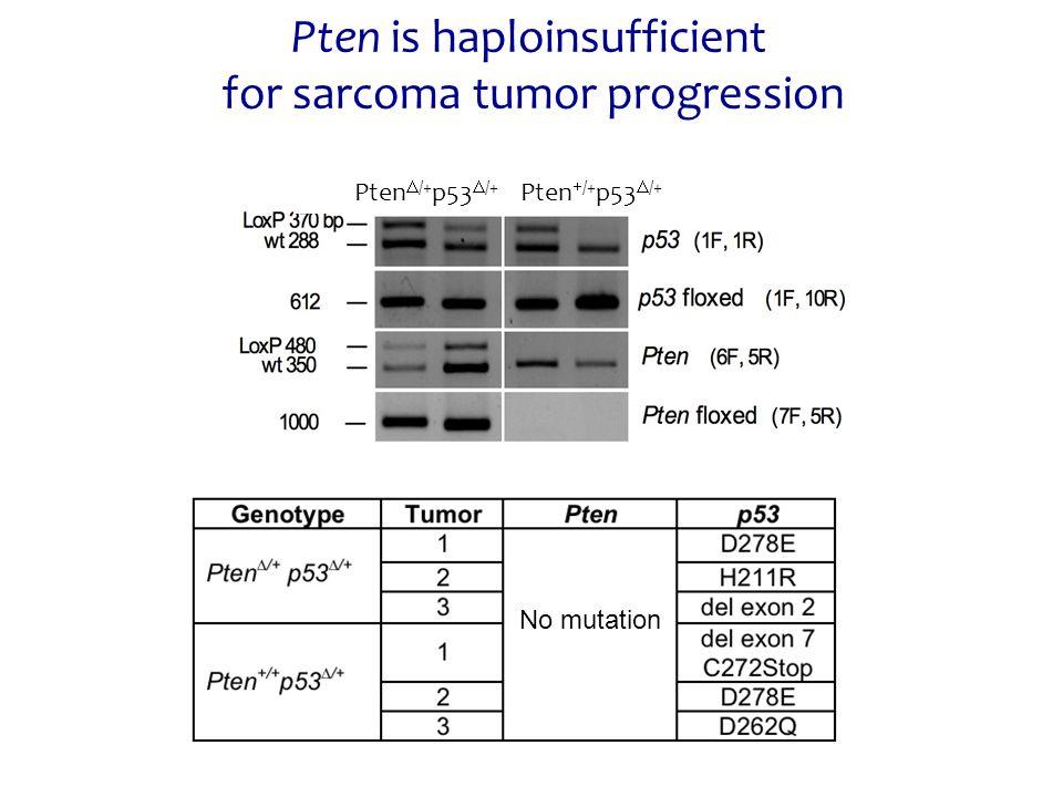 Pten is haploinsufficient for sarcoma tumor progression No mutation Pten  /+ p53  /+ Pten  /+ p53  /+