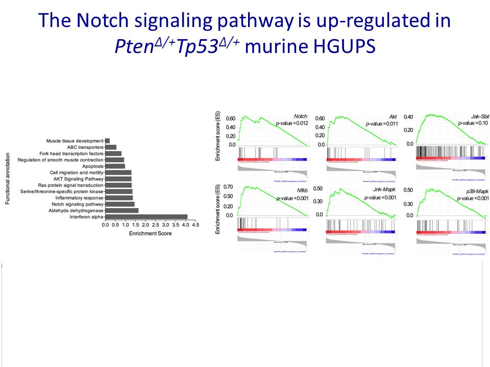 The Notch signaling pathway is up-regulated in Pten Δ/+ Tp53 Δ/+ murine HGUPS