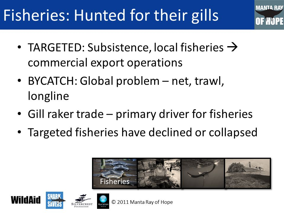 Demand: Gill Raker Trade Marketed as a health tonic in Asia One small part of the ray is valuable Exploited by shark fin trade networks Largely undocumented and unregulated Increased demand -> decreasing supply-> driving up prices 4 Demand