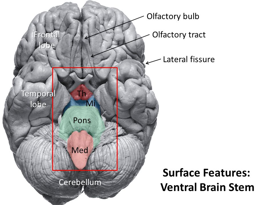 Surface Features: Ventral Brain Stem Med Pons Mi Th Cerebellum Frontallobe Temporallobe Lateral fissure Olfactory bulb Olfactory tract
