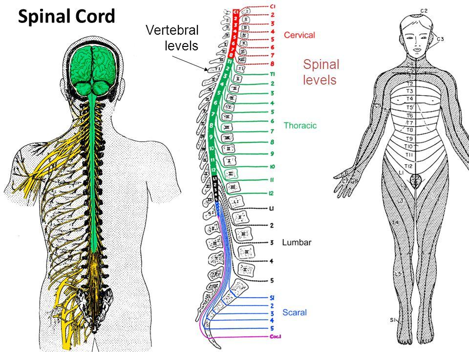 Spinal levels Vertebral levels Spinal Cord