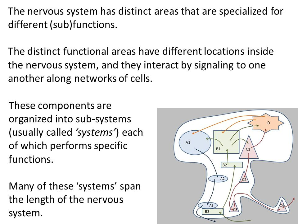 The nervous system has distinct areas that are specialized for different (sub)functions. The distinct functional areas have different locations inside
