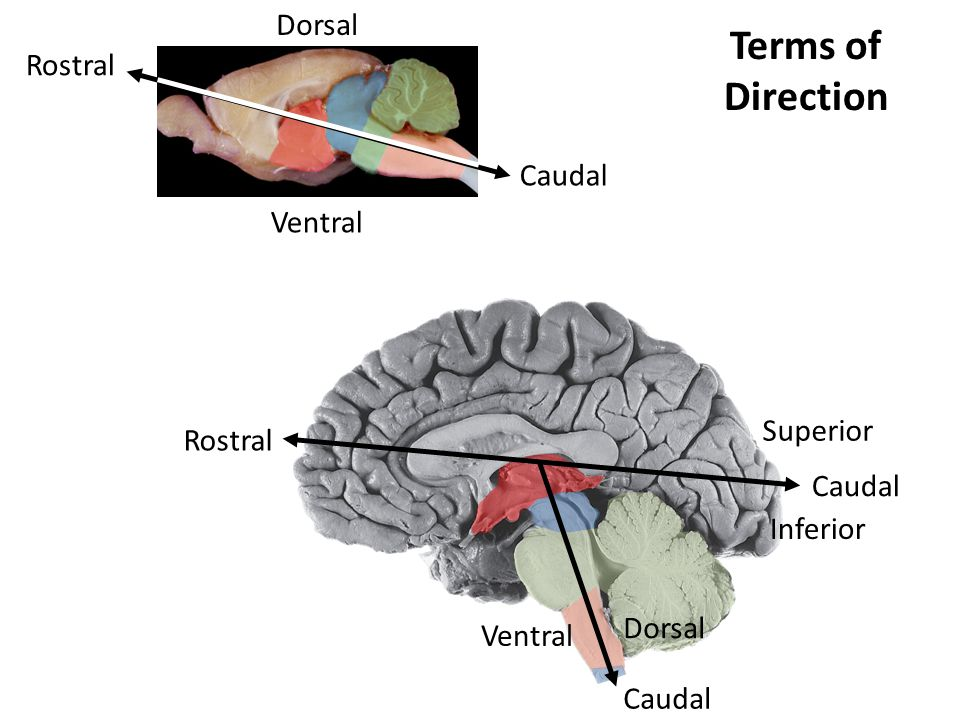 Dorsal Ventral Rostral Caudal Rostral Caudal Superior Inferior Caudal Dorsal Ventral Terms of Direction