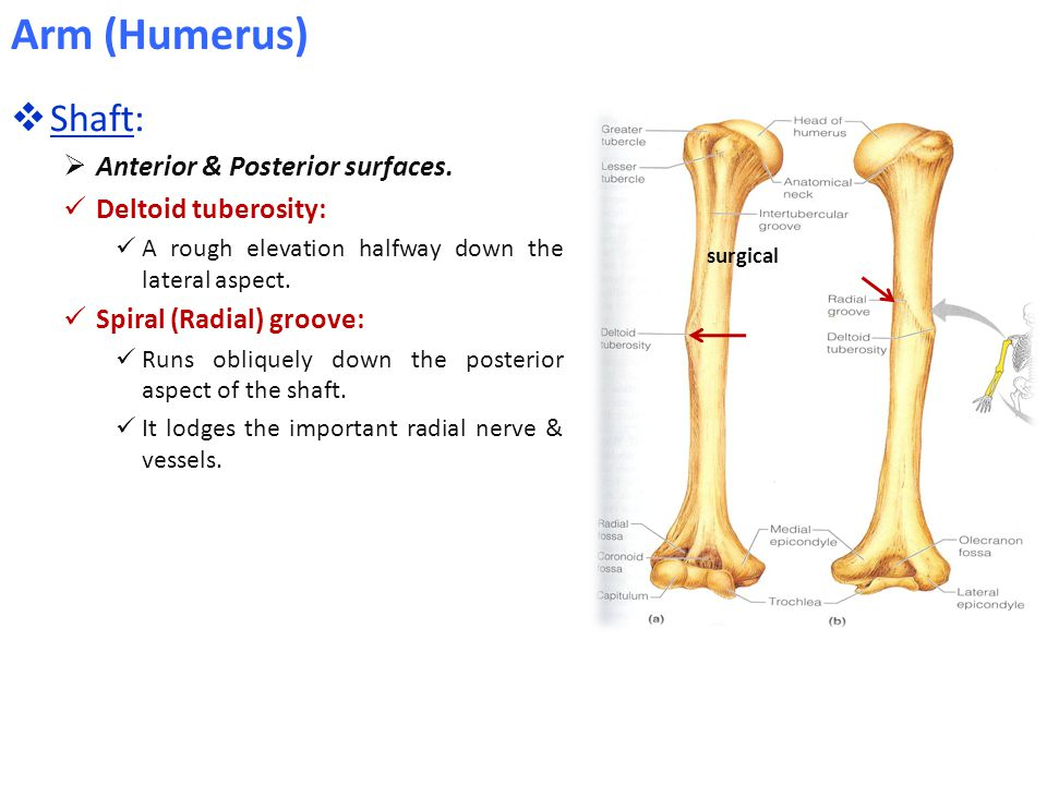  Shaft:  Anterior & Posterior surfaces. Deltoid tuberosity: A rough elevation halfway down the lateral aspect. Spiral (Radial) groove: Runs obliquel
