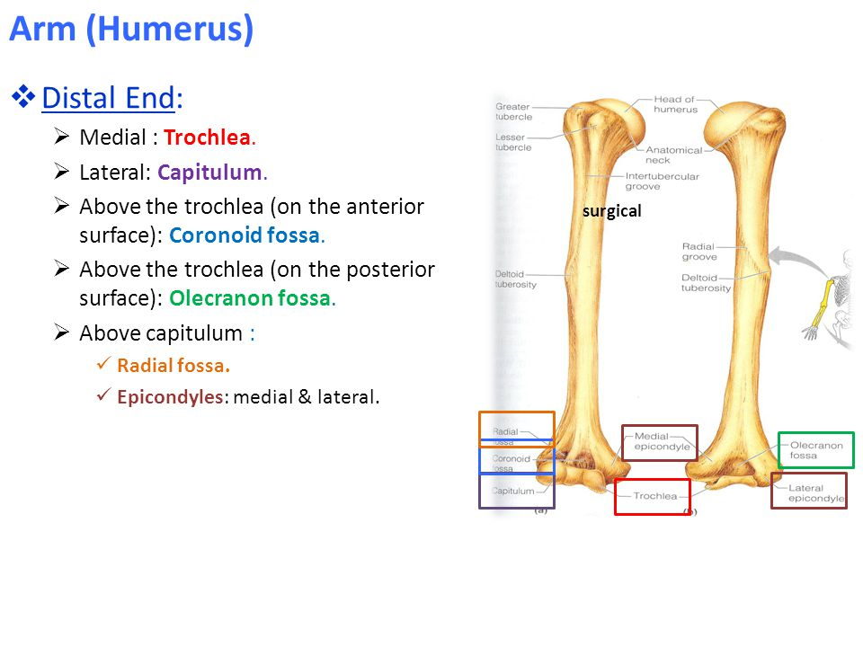  Distal End:  Medial : Trochlea. Lateral: Capitulum.