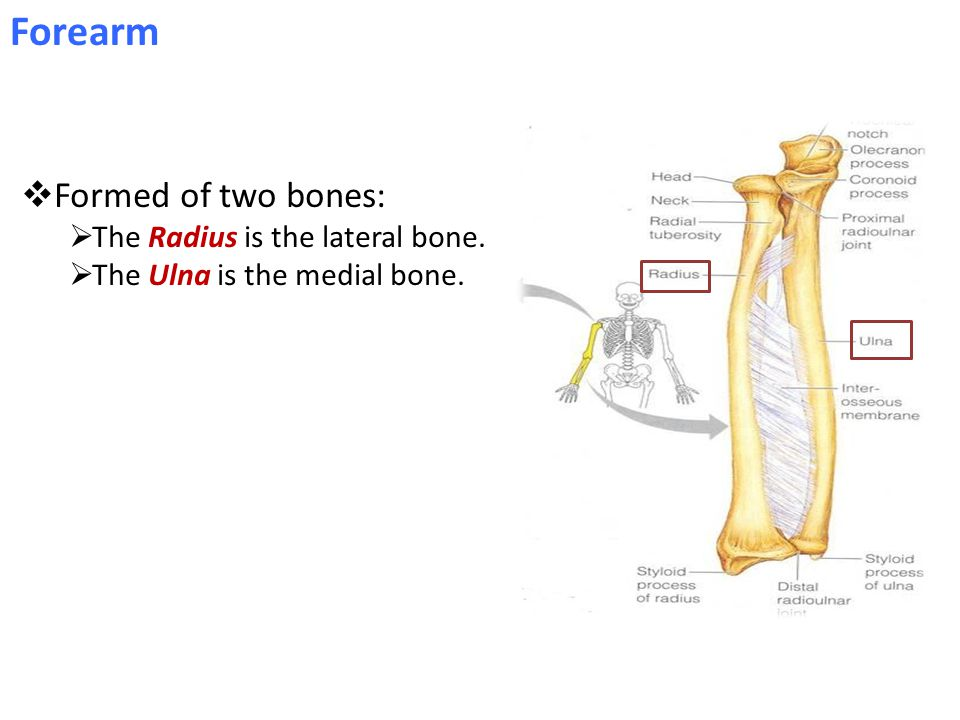 Forearm  Formed of two bones:  The Radius is the lateral bone.  The Ulna is the medial bone.