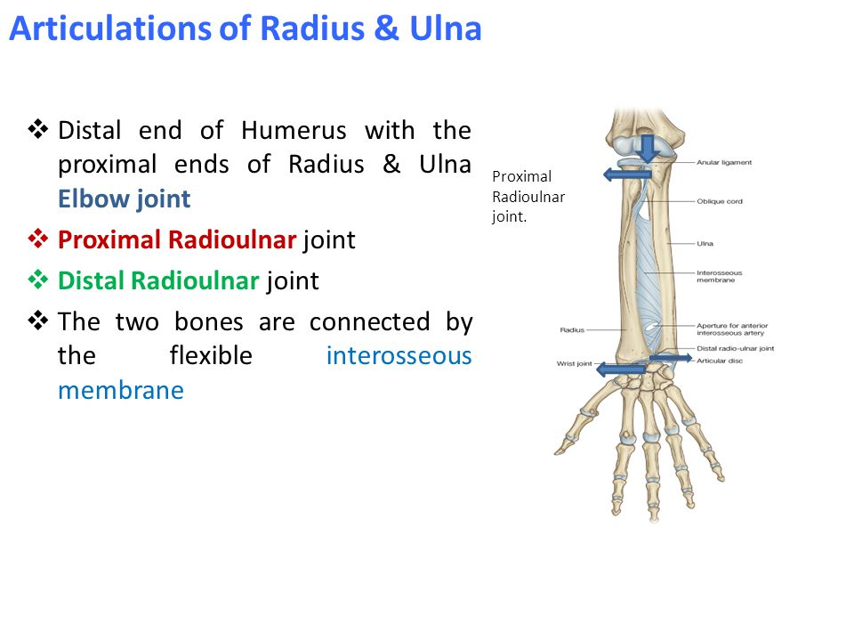  Distal end of Humerus with the proximal ends of Radius & Ulna Elbow joint  Proximal Radioulnar joint  Distal Radioulnar joint  The two bones are connected by the flexible interosseous membrane Proximal Radioulnar joint.