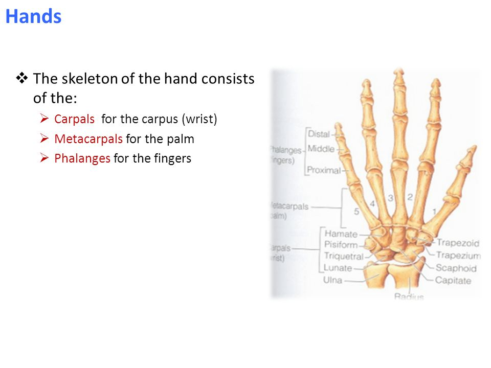  The skeleton of the hand consists of the:  Carpals for the carpus (wrist)  Metacarpals for the palm  Phalanges for the fingers Hands