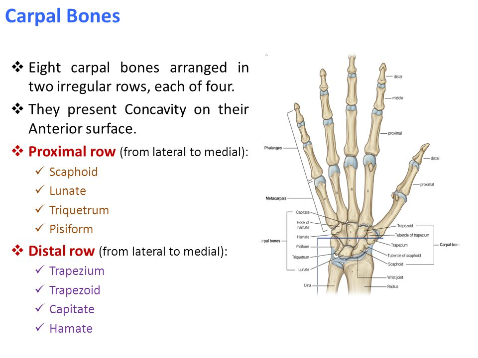  Eight carpal bones arranged in two irregular rows, each of four.  They present Concavity on their Anterior surface.  Proximal row (from lateral to