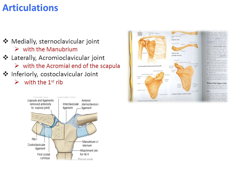  Medially, sternoclavicular joint  with the Manubrium  Laterally, Acromioclavicular joint  with the Acromial end of the scapula  Inferiorly, costoclavicular Joint  with the 1 st rib Articulations