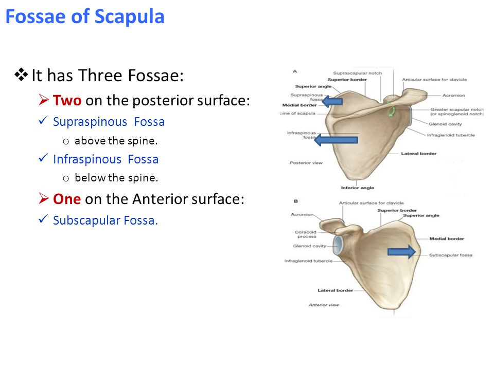  It has Three Fossae:  Two on the posterior surface: Supraspinous Fossa o above the spine. Infraspinous Fossa o below the spine.  One on the Anteri