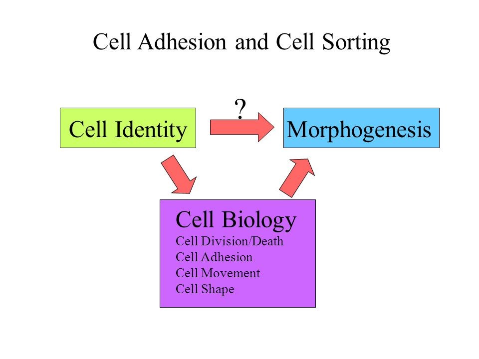 Cells Can Have Different Degrees of Contact (Adhesion) to Their Neighbors Epithelia: Tight adhesion, clear cell-cell junctions, highly ordered Mesenchyme: Loose adhesion but still contiguous tissue Individual cells