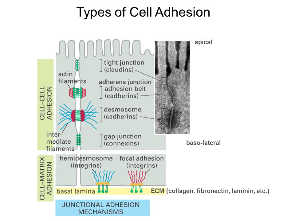 adherens junction apical baso-lateral ECM (collagen, fibronectin, laminin, etc.) Types of Cell Adhesion