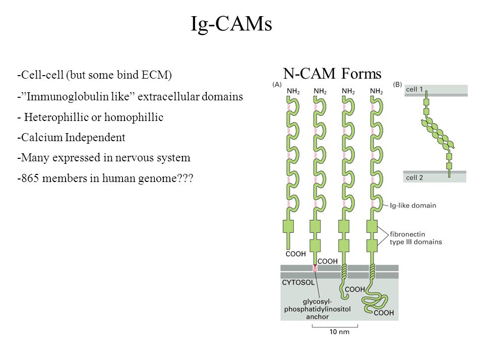 Ig-CAMs -Cell-cell (but some bind ECM) - Immunoglobulin like extracellular domains - Heterophillic or homophillic -Calcium Independent -Many expressed in nervous system -865 members in human genome .