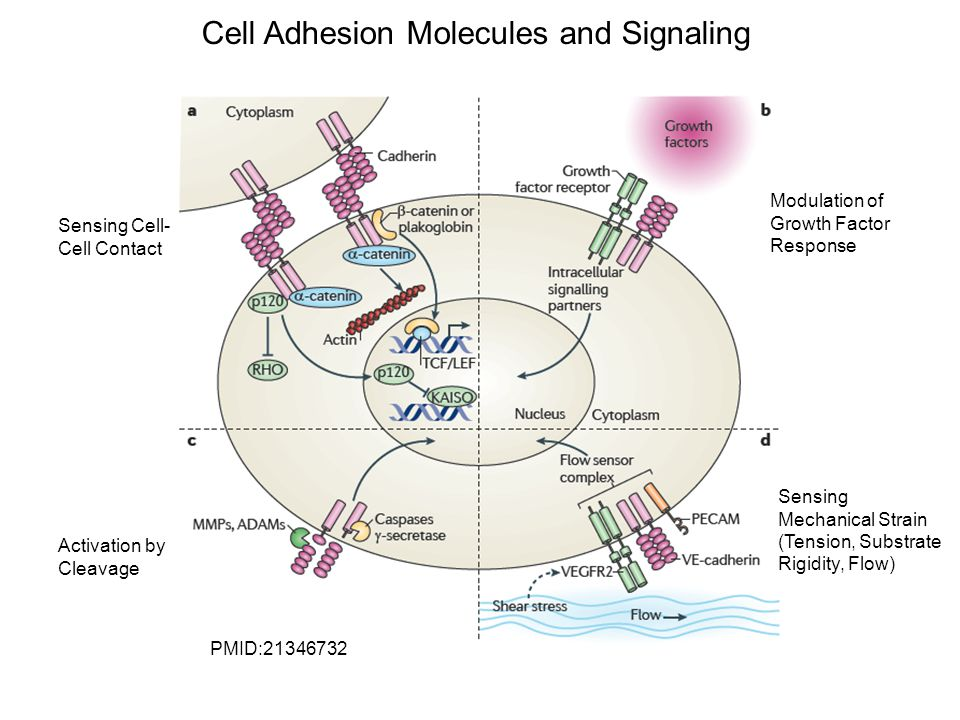 Cell Adhesion Molecules and Signaling Sensing Cell- Cell Contact Activation by Cleavage Modulation of Growth Factor Response Sensing Mechanical Strain (Tension, Substrate Rigidity, Flow) PMID:21346732