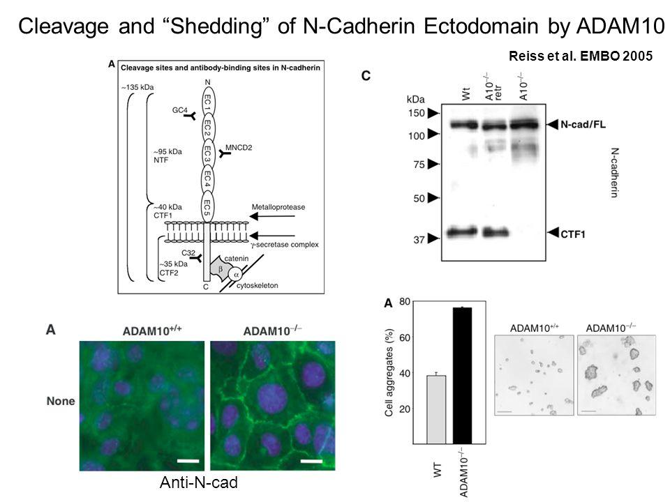 Anti-N-cad Cleavage and Shedding of N-Cadherin Ectodomain by ADAM10 Reiss et al. EMBO 2005
