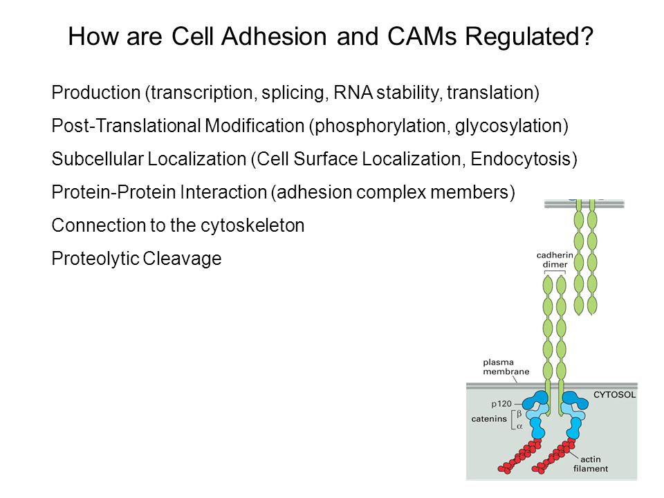 How are Cell Adhesion and CAMs Regulated? Production (transcription, splicing, RNA stability, translation) Post-Translational Modification (phosphoryl