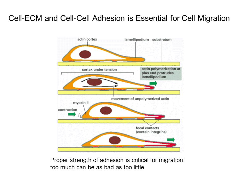 Cell-ECM and Cell-Cell Adhesion is Essential for Cell Migration Proper strength of adhesion is critical for migration: too much can be as bad as too little