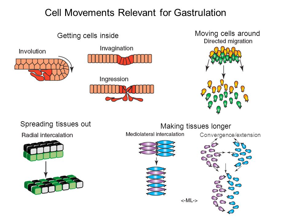 Getting cells inside Cell Movements Relevant for Gastrulation Spreading tissues out Making tissues longer Convergence/extension Moving cells around